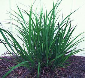 Indiangrass
