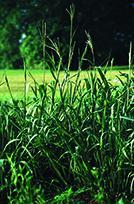 Eastern gamagrass