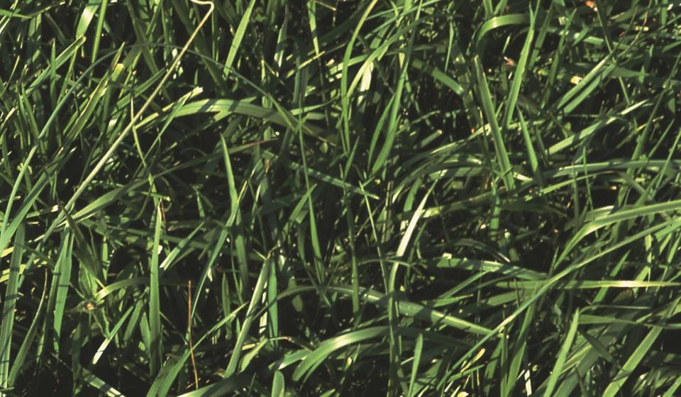 tall fescue stand